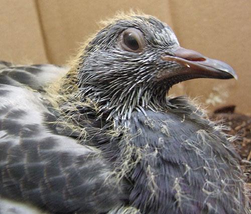 pigeon worm or external parasites