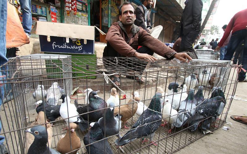 new pigeon raiser